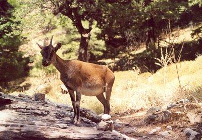 Slavná Kri-Kri - Kri-Kri aneb koza bezoárová v soutěsce Samaria