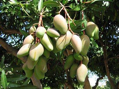 Mangový strom