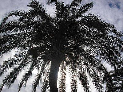Palma u Playa Amadores